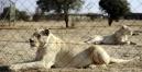 Afrique du Sud: touriste tuée par une lionne, le guide raconte l'attaque