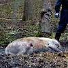 Der Kadaver des enthaupteten Hirschen. (Quelle: Erzfoto)